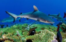 bahamas shark fish